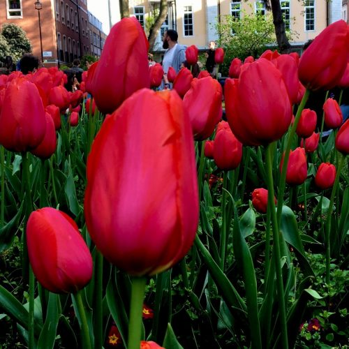 IMG_0304_m tulips in Soho London